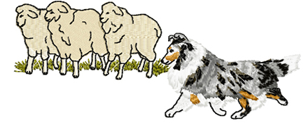 sheltie herding sheep 1