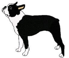 boston terrier stand
