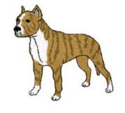 american pit bull terrier standing