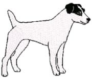 jack russell - parsons terrier